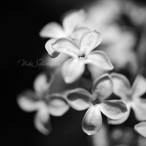 lilac in bw ii by nakedlady