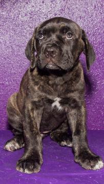 Cane Corso Puppy For Sale In Tampa Fl Adn 33255 On Puppyfinder Com Gender Female Age 8 Weeks Old Puppies For Sale Cane Corso Puppies Cane Corso