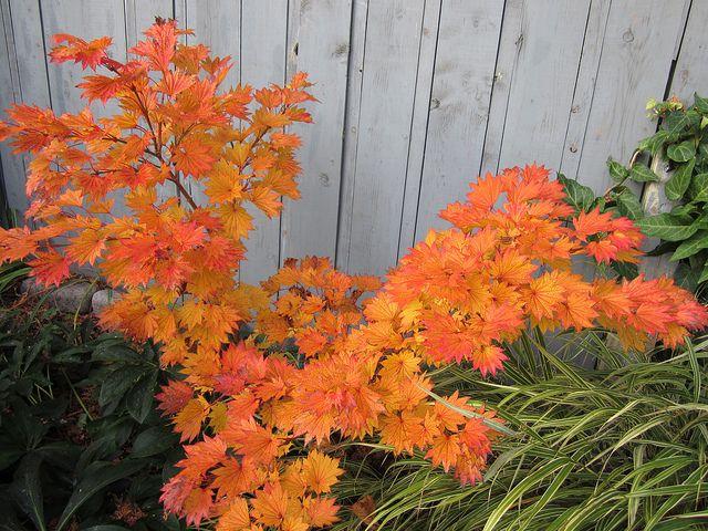 Acer Shirasawanum Aureum Japanese Maple Fall Color Japanese