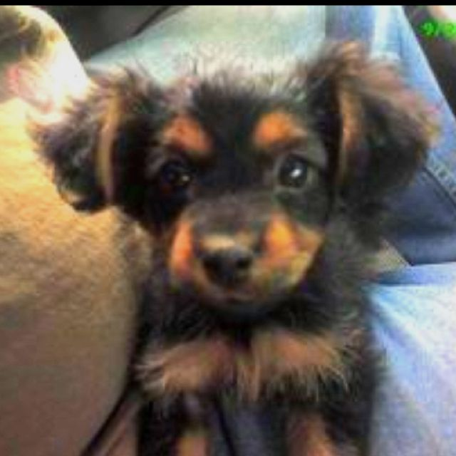 This Is A Dorkie I Want One Fancy Dog Cute Animals Cute