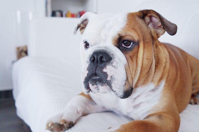 Meet Junior An Amazing English Bulldog On Yummypets Com Bulldog