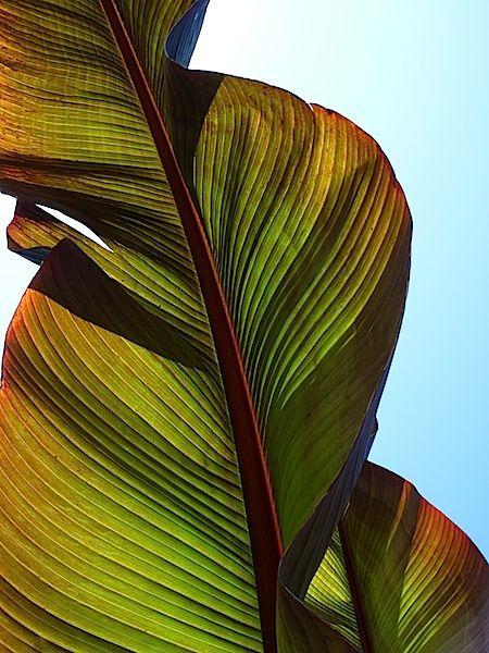 Siri W Feeney Contact Banana Leaf Art Texture Photography Leaves