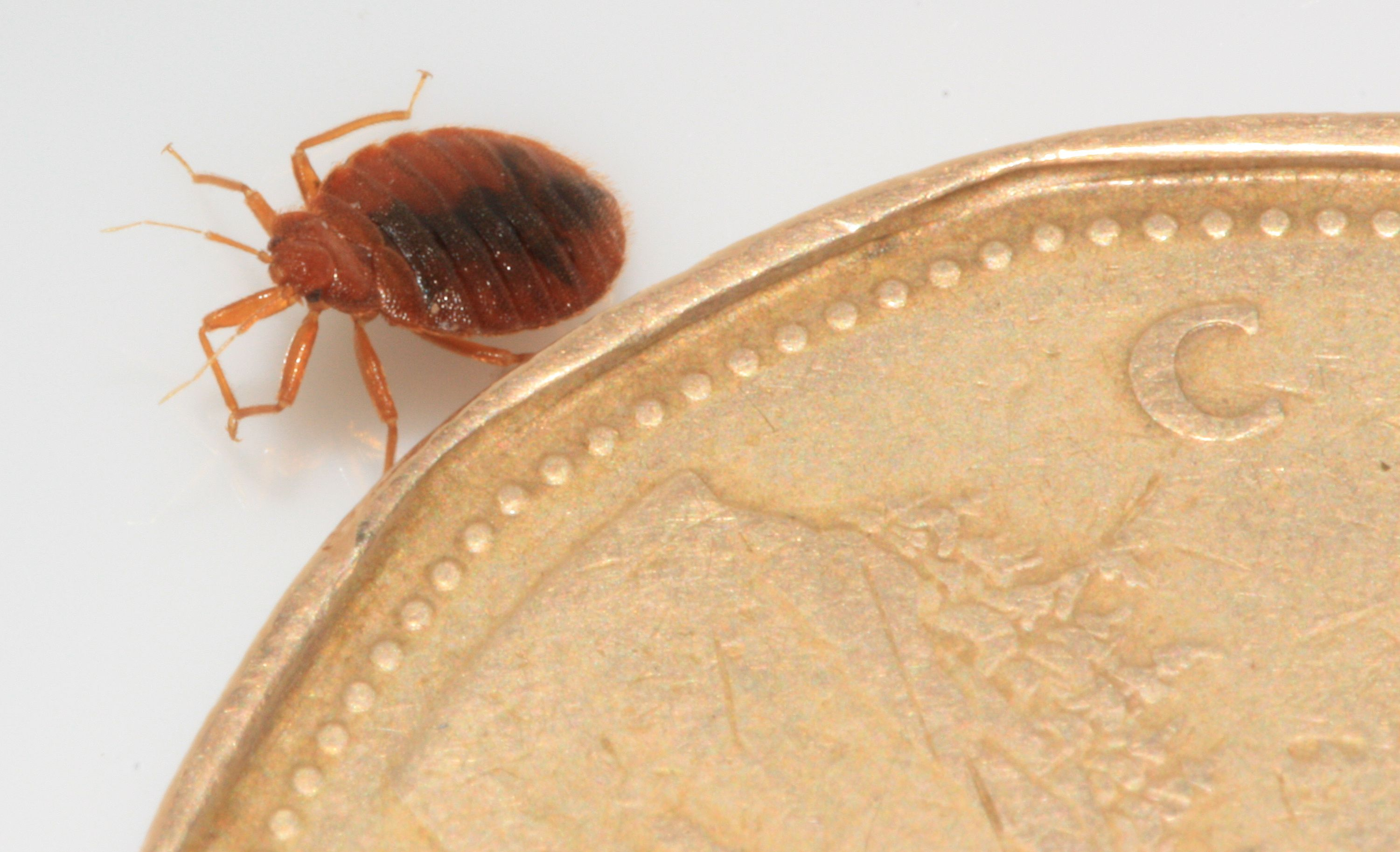 Bed Bug besides a Canadian dollar coin for perspective on
