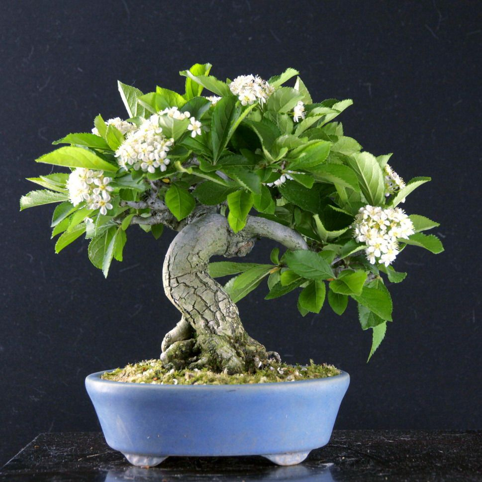Japanische Zimmerpflanzen カマツカ Kamatsuka 盆栽 Bonsai Shohin Mame Bonsailabo凜 Moss