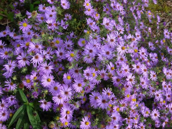 5 Common Name Aromatic Aster Type Herbaceous Perennial Family Asteraceae Native Range Northe Light Purple Flowers Herbaceous Perennials Wonderful Flowers