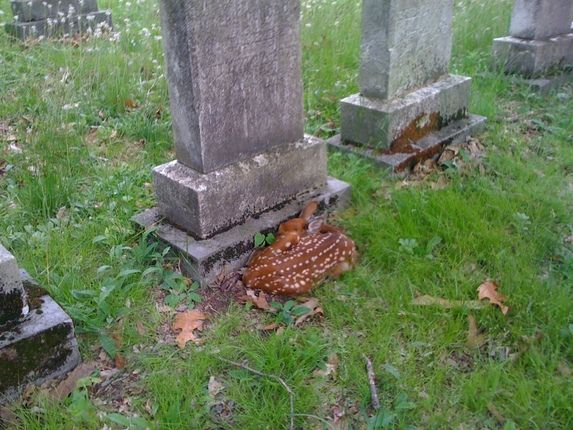 malformalady: Fawn sleeping in Spring Forest Cemetery, Binghamton, NY