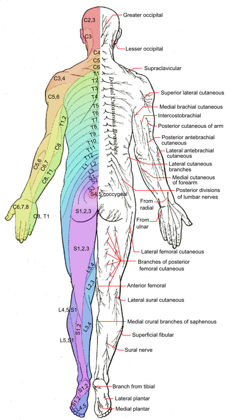 Dermatomes and cutaneous nerves - posterior - Dermatome (anatomy ...