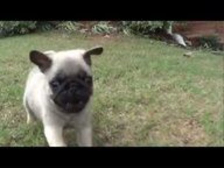Find More Information On Baby Pugs For Adoption Check The Webpage