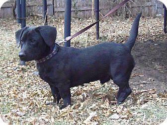 Minneapolis Mn Basset Hound Labrador Retriever Mix Meet Harrison A Puppy For Adoption Puppy Adoption Basset Hound Basset Hound Mix