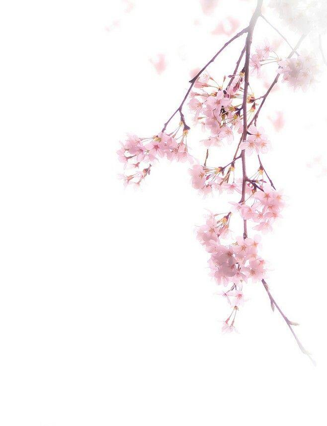 27d700a8d2 Phone Backgrounds, Wallpaper Backgrounds, Iphone Wallpaper, Tumblr  Wallpaper, Cherry Blossom Flowers,