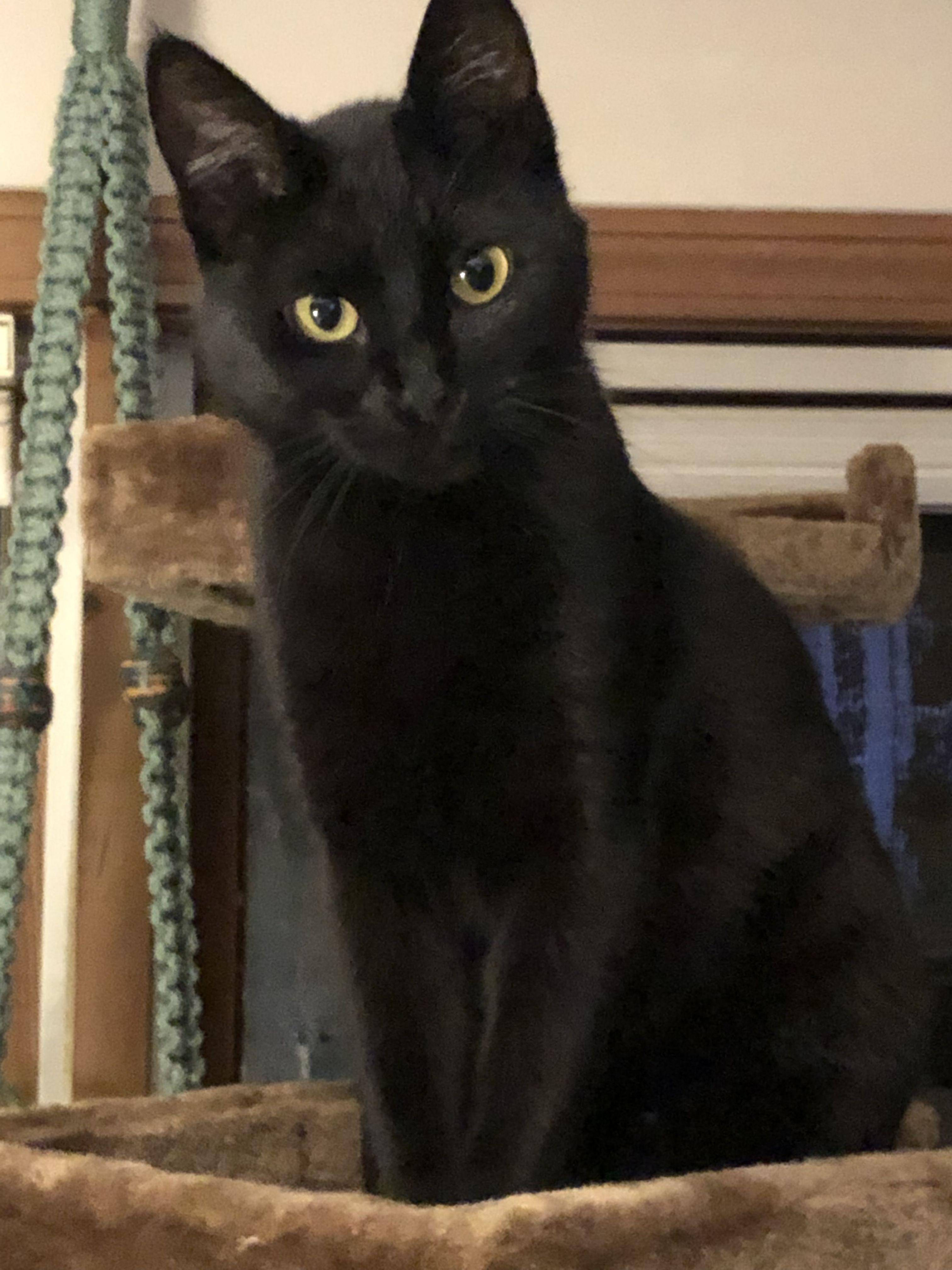 My Beauty Black Cat More Like Mink Roy Cats Kittens Cutest Beautiful Cats