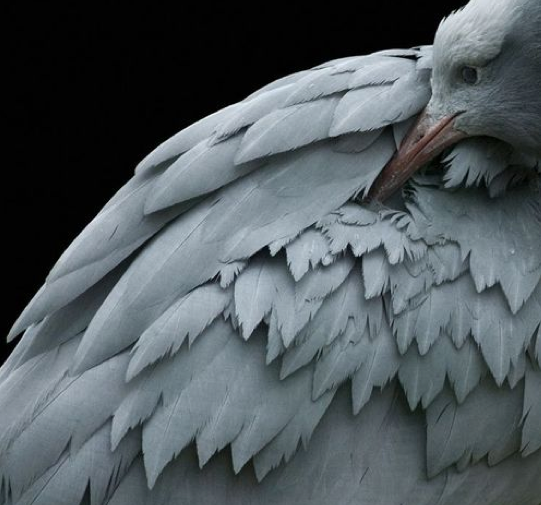 gray feathered one