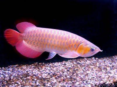 Indonesia Super Dwarf Fish