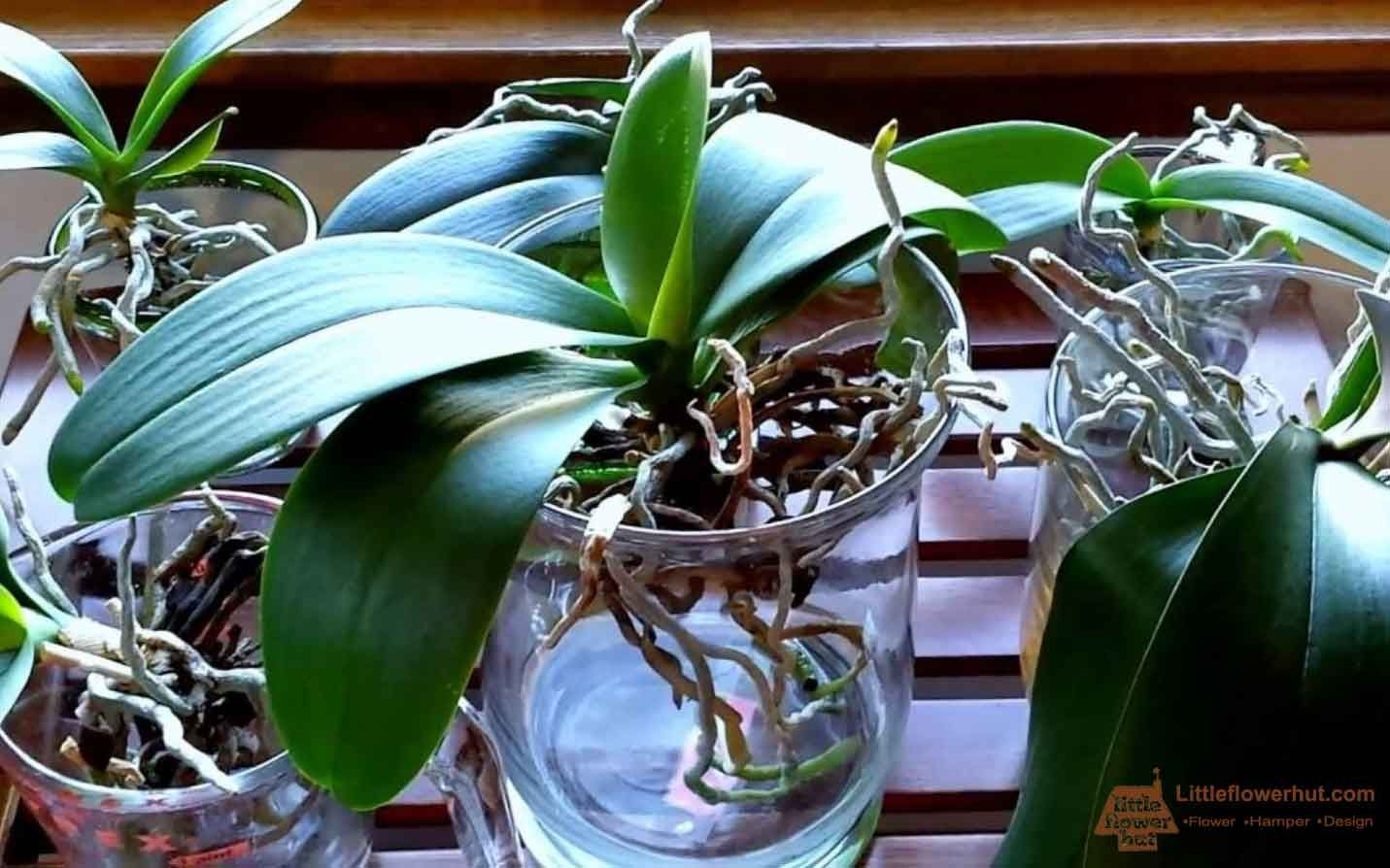 Can Orchids Grow in Water? Orchid potting mix, Potting