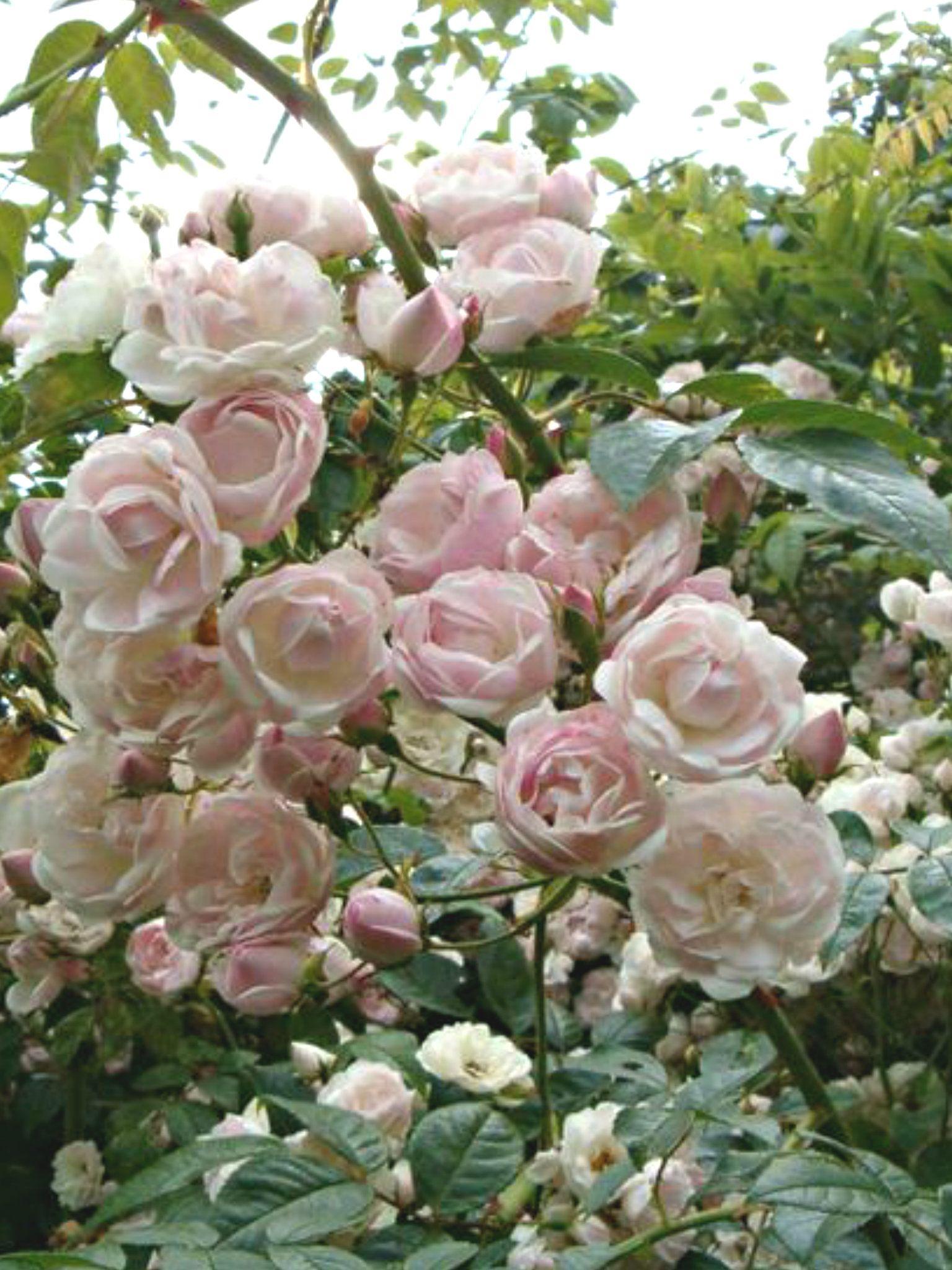 Small Light Pink Roses Rambling Google Search Flora Fauna