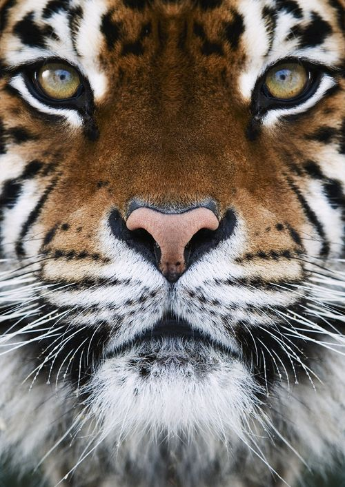 I am obsessed with tigers. So stunning.