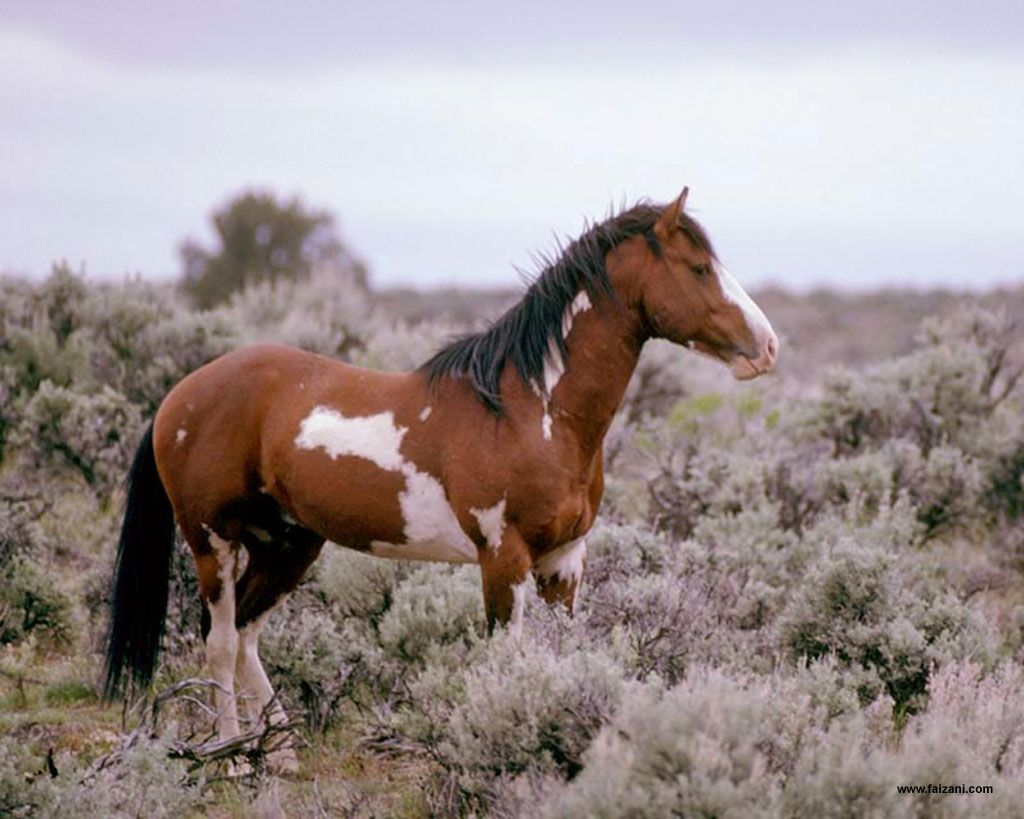 Horse Wallpapers Animal