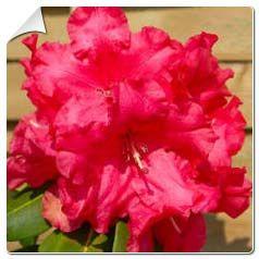 Rododendro 'Markeeta's Prize'