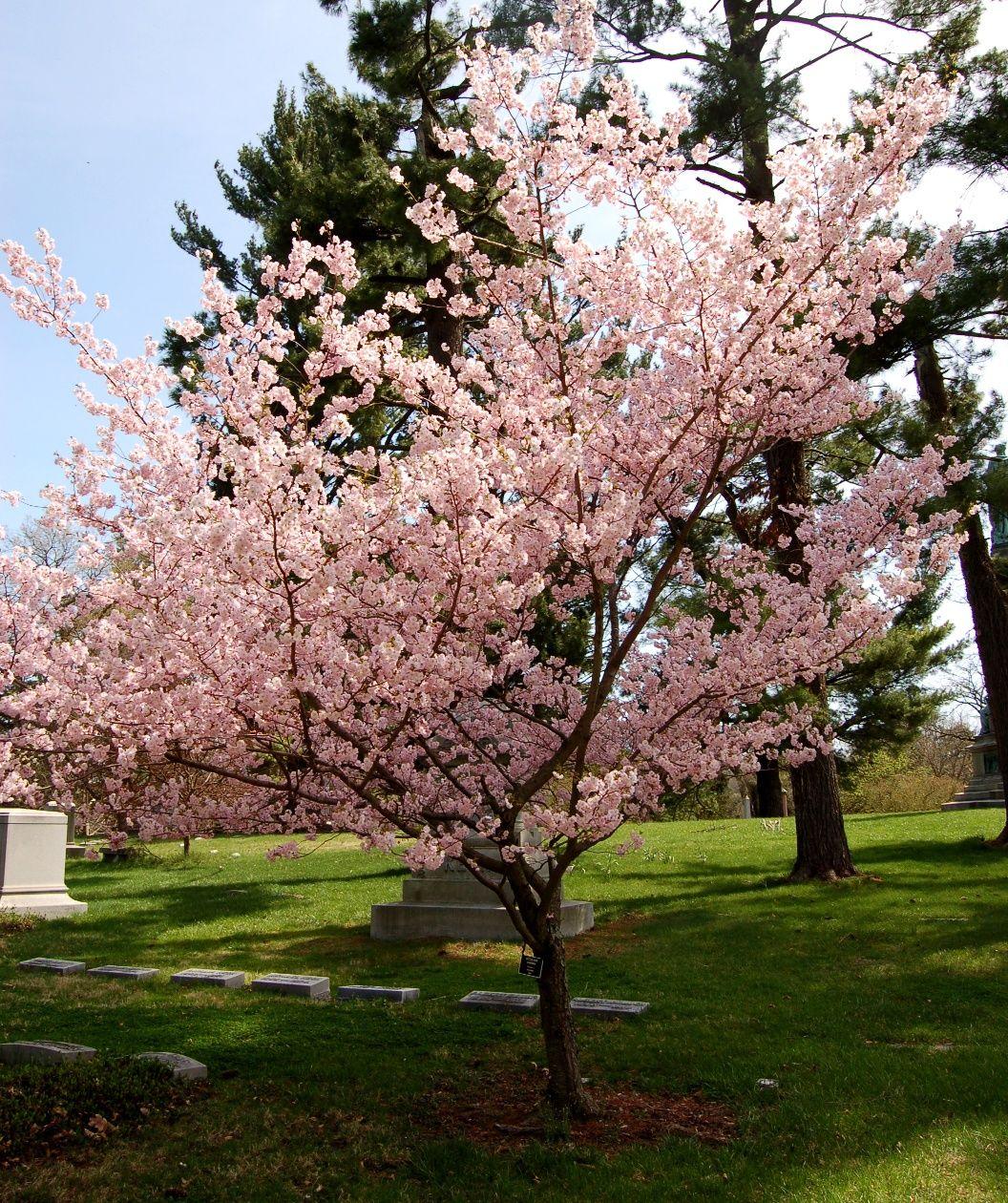 Prunus X Accolade Cherry 25 To 25 Flowering Cherry Tree Cherry Tree Varieties Landscaping Trees
