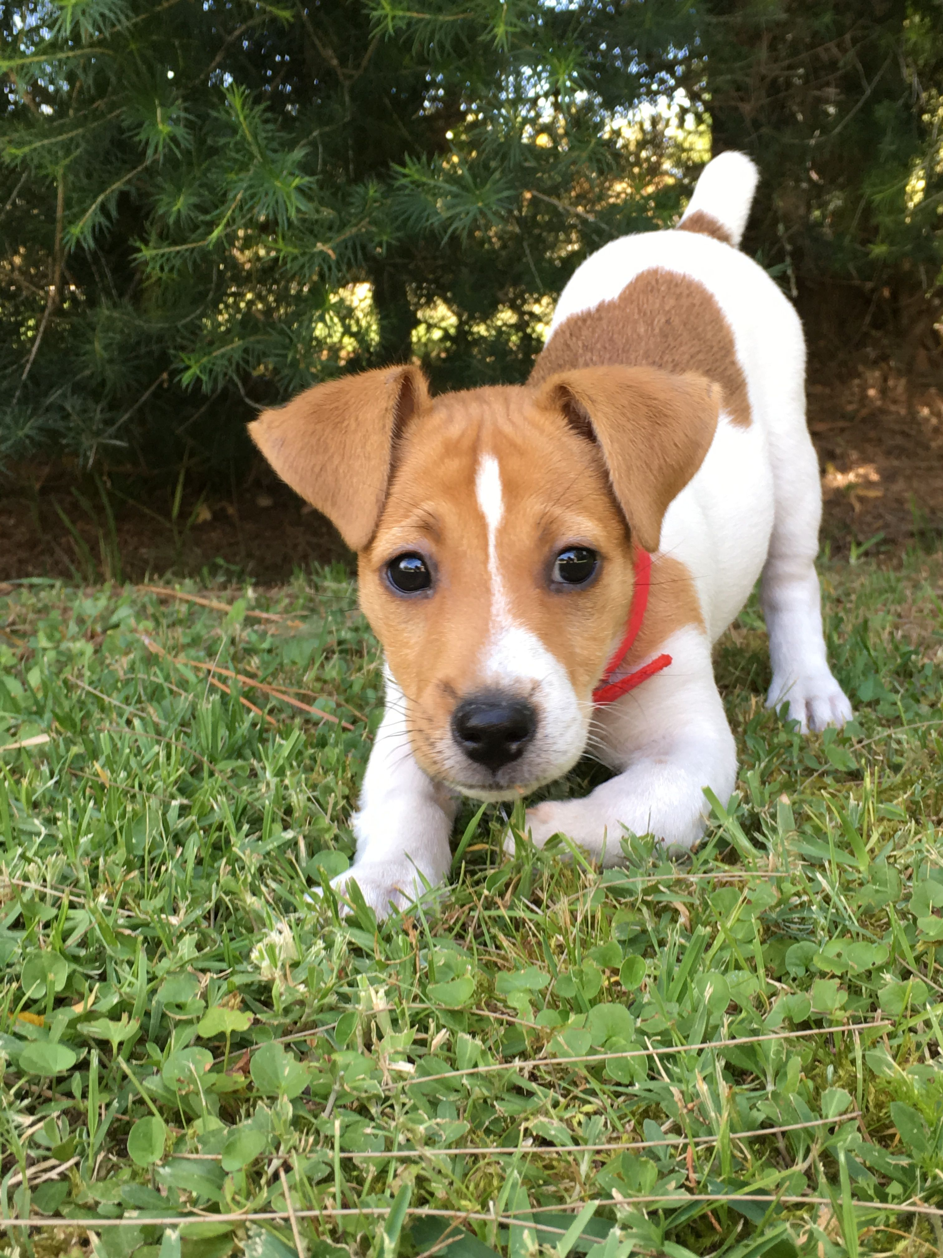 Ponchi Ponchi Cotrone Jack Russell Puppies Jack Russell Jack Russell Dogs
