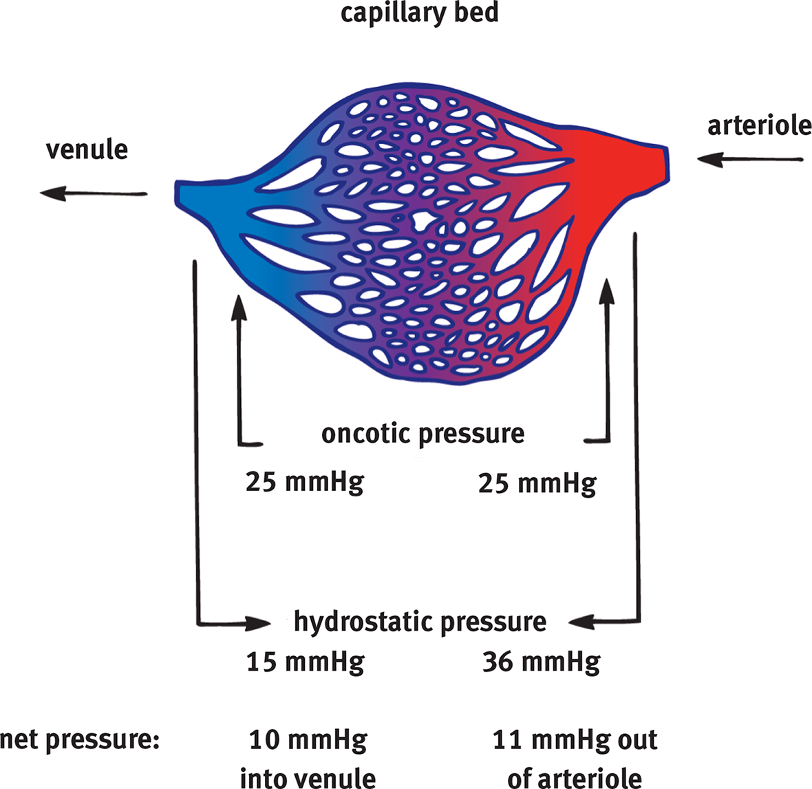Image Of Capillary Bed Showing Oncotic Pressure Remains