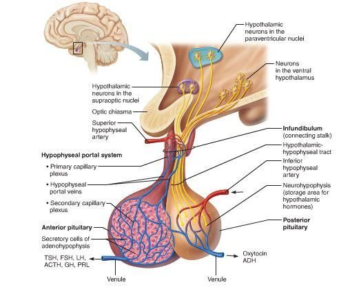 the pituitary gland diagram google search pituitary gland rh pinterest com