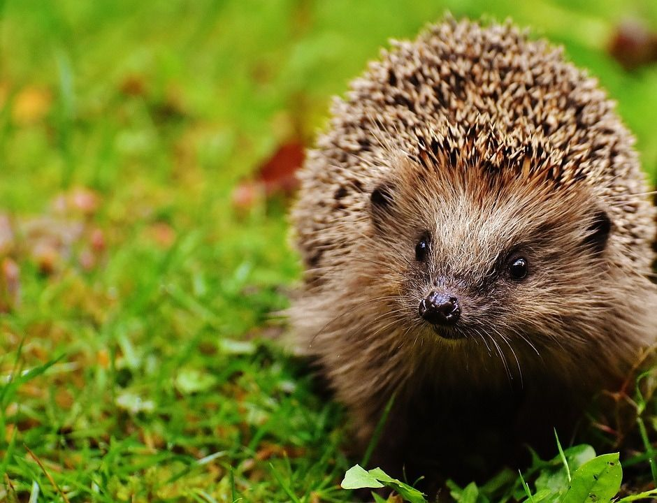 Happy Hedgehog Day Hedgehog Facts For Kids Hedgehog Pet Hedgehog Facts