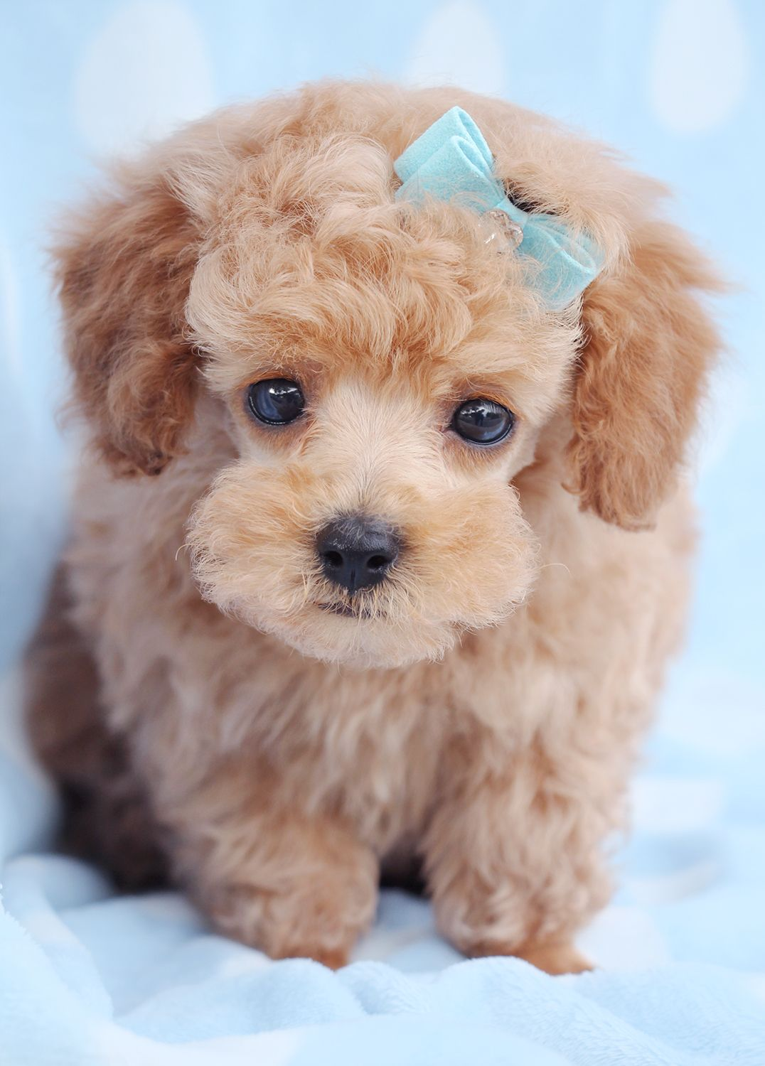 toy poodle puppy in a tea cup (With images) Poodle puppy