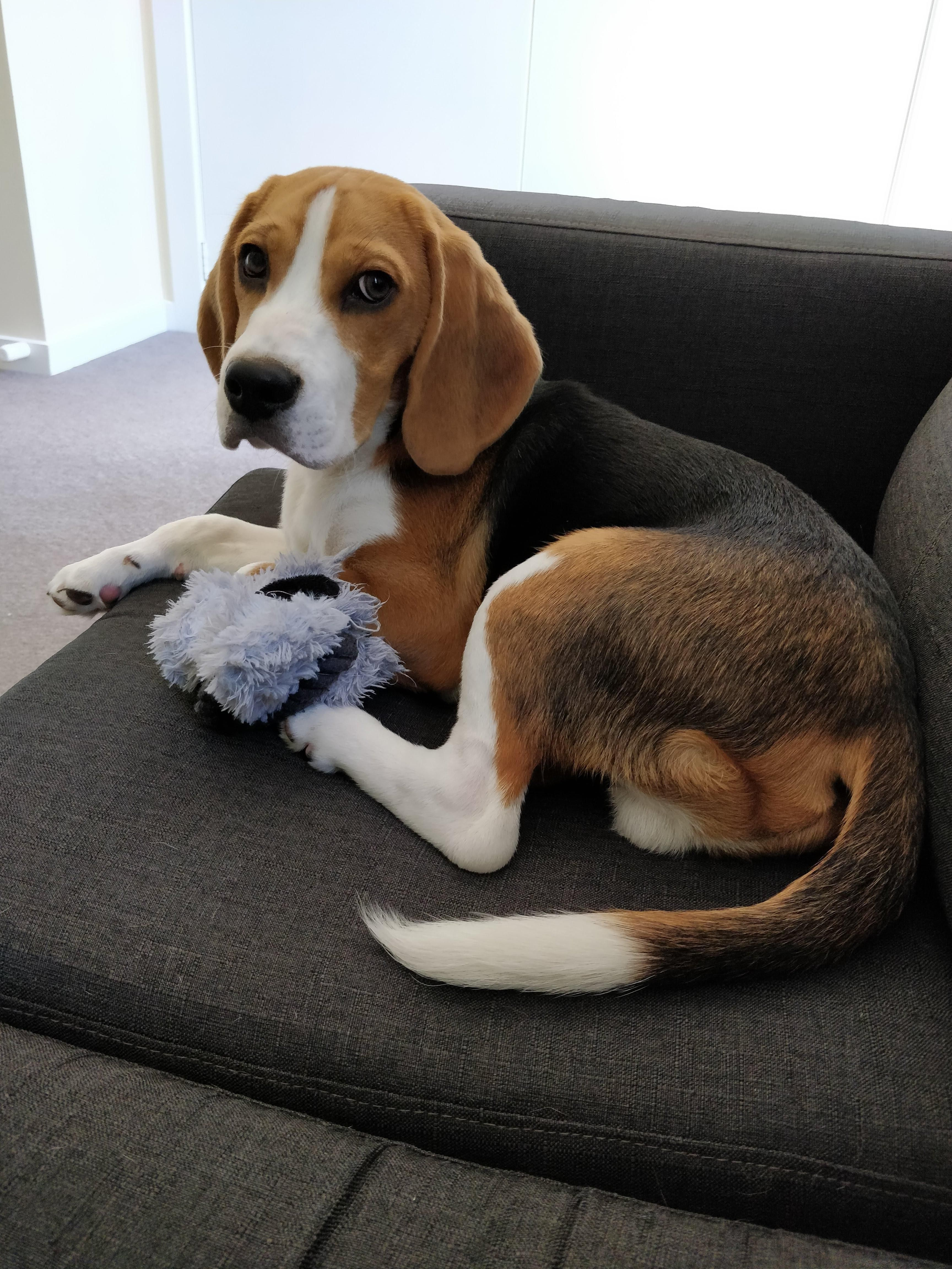 Pin By Rickey Smith On Beagles Beagle Dog Cute Baby Animals