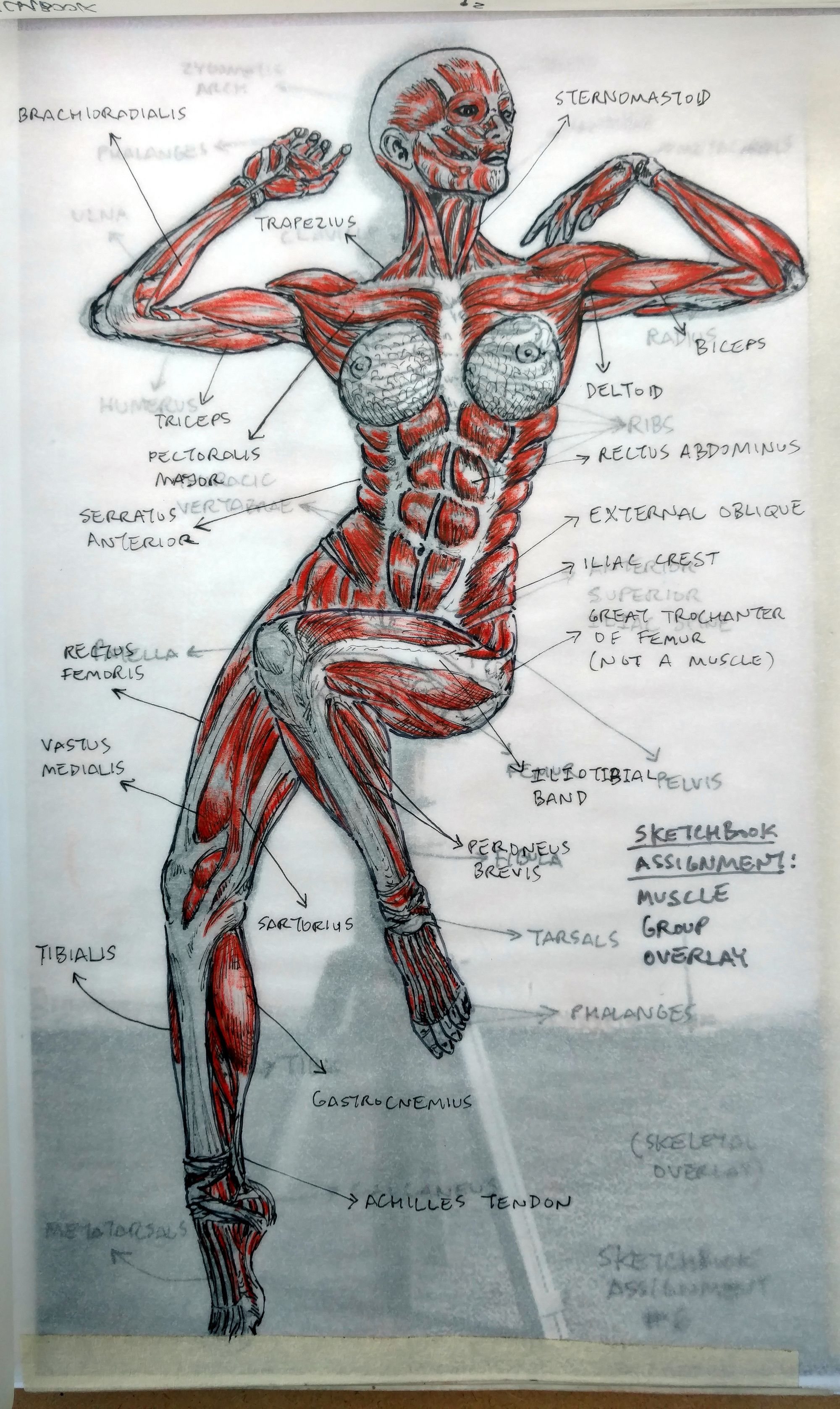 2015 Figure Drawing Class - at Citrus College - Muscular System ...