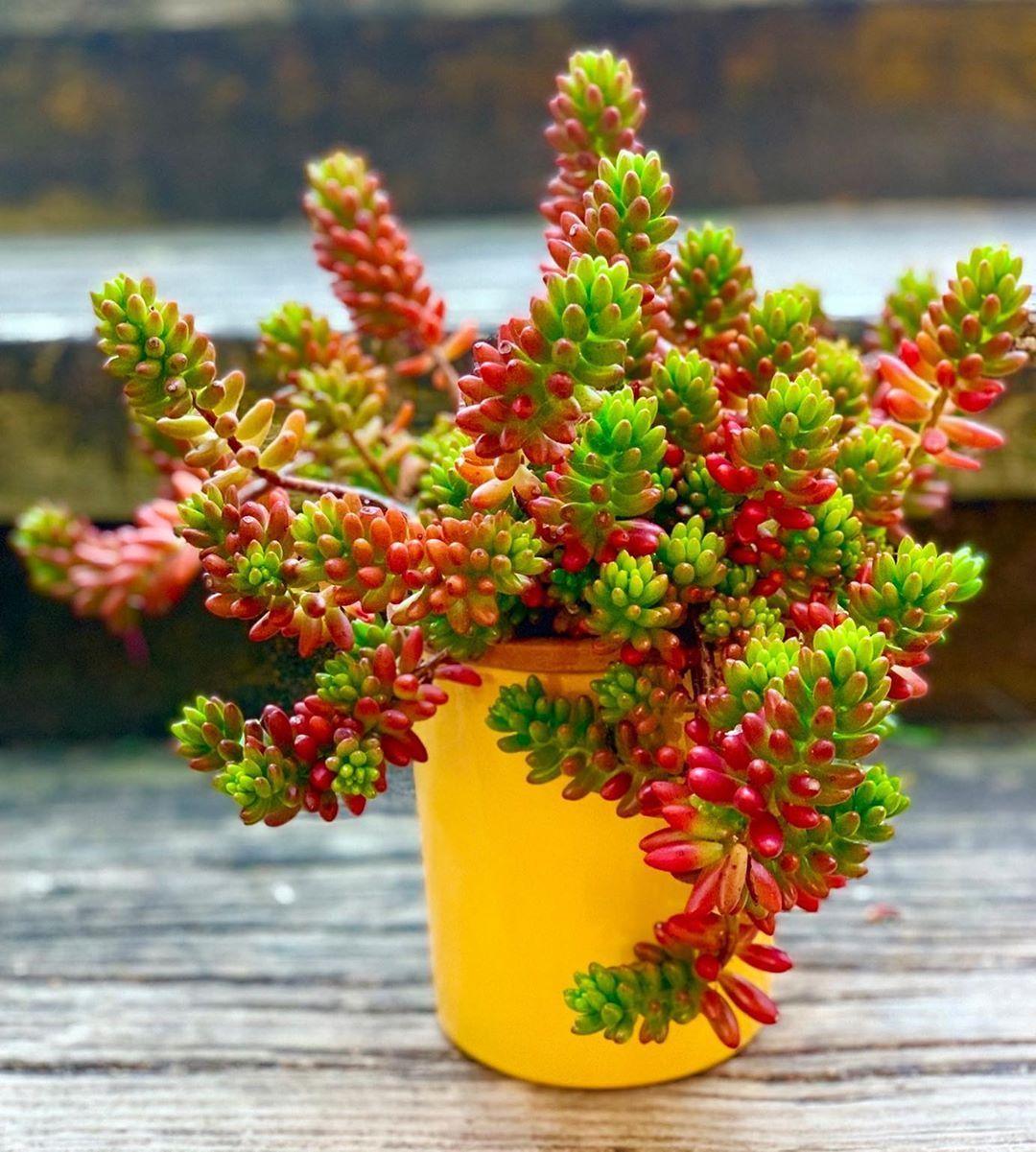 Pink Jelly Bean Sedum Repost Thriftysucculents Succulents