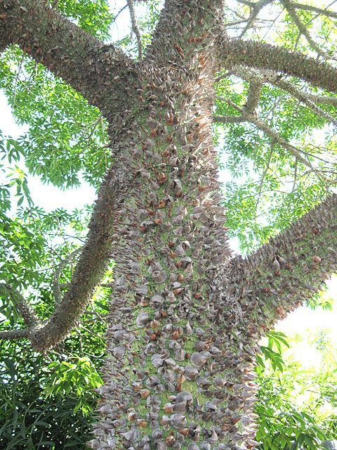 Bewitching Silk Floss Trees Aren T As Scary As You Might Think Artistree In 2020 Tree Trees To Plant Beautiful Tree