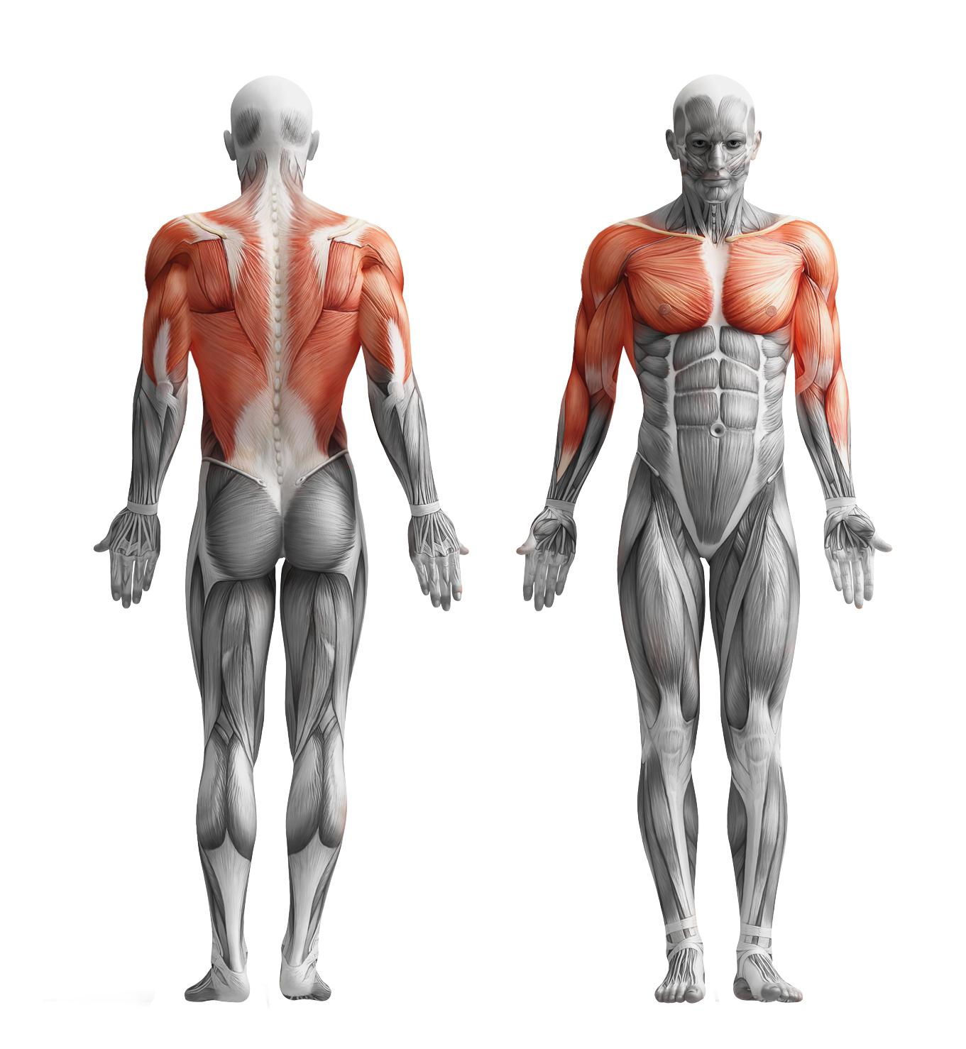 Anatomy_muskuls_10   Anatomy   Pinterest