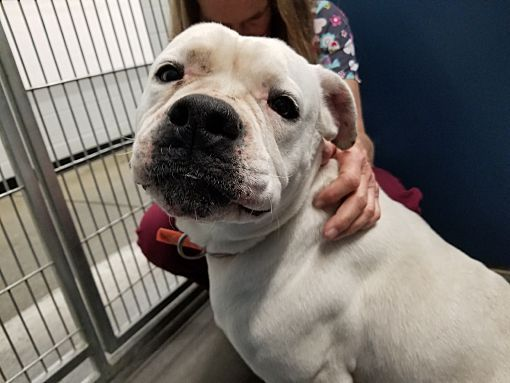 Pictures of Gracie a American Bulldog for adoption in