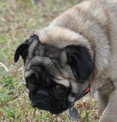 Blimpy D11 is an adoptable Pug Dog in Huntsville, AL