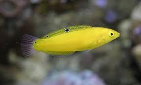 Yellow Wrasse Wrasse Pet Store Marine Fish