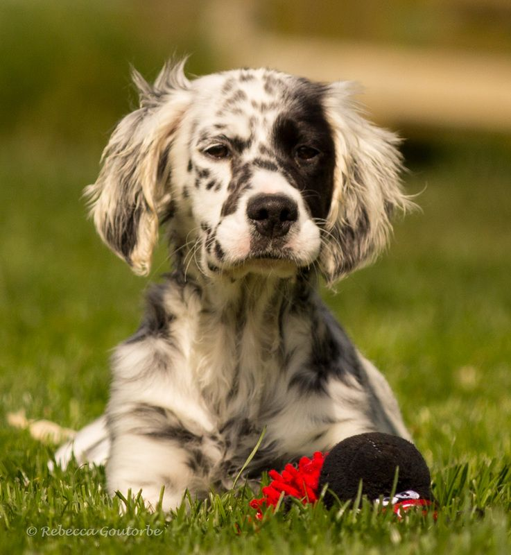 The Upperwood Working English Setter English Setter Puppies
