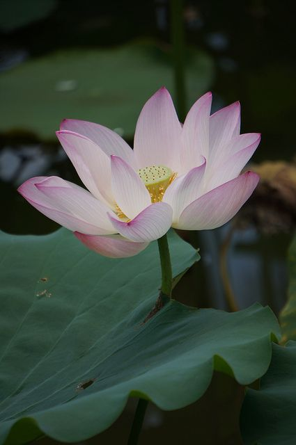 Dsc01490 tales from the odyssey pinterest lotus lotus flowers odysseus became upset when he found out that eating lotus flowers causes forgetfulness mightylinksfo