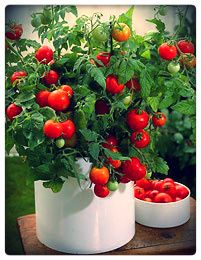 Micro Gardening Red Robin Tomato