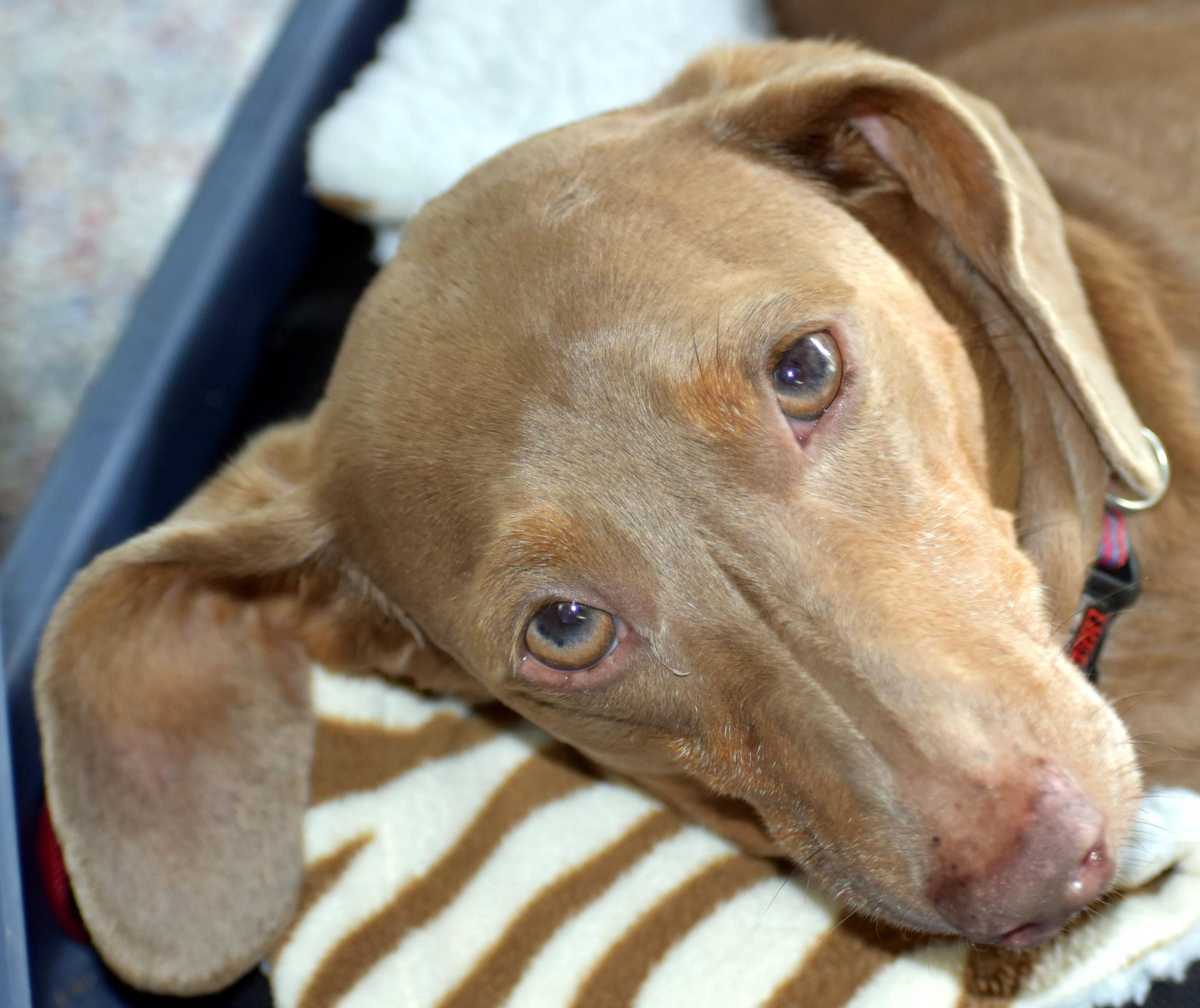 Meet Macy In Nj An Adoptable Pet Dog Pets Dachshund Pet Adoption