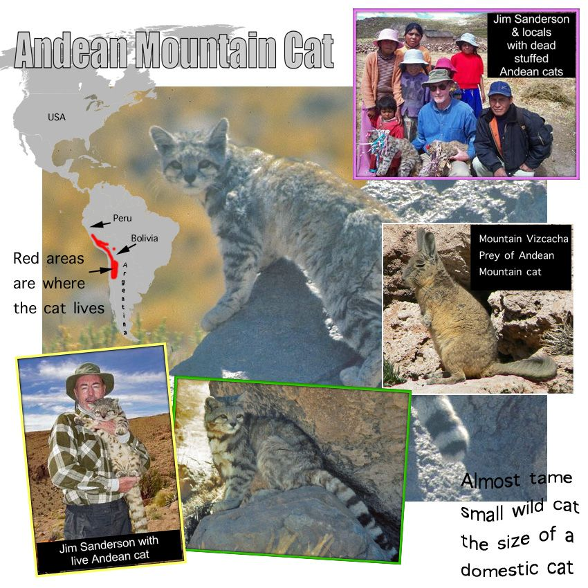 Andean Mountain Cat Facts For Kids Bengal cat facts, Cat