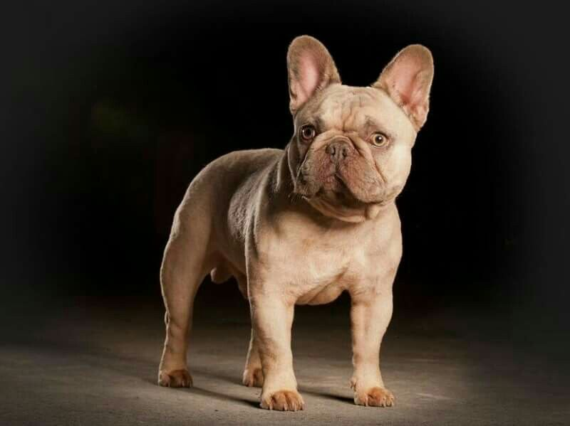 Lilac Colored French Bulldog From Farfalla Frenchies With