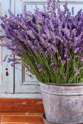 ideen mit lavendel n tzliche infos rund um die duftpflanze lavendel im topf garten. Black Bedroom Furniture Sets. Home Design Ideas