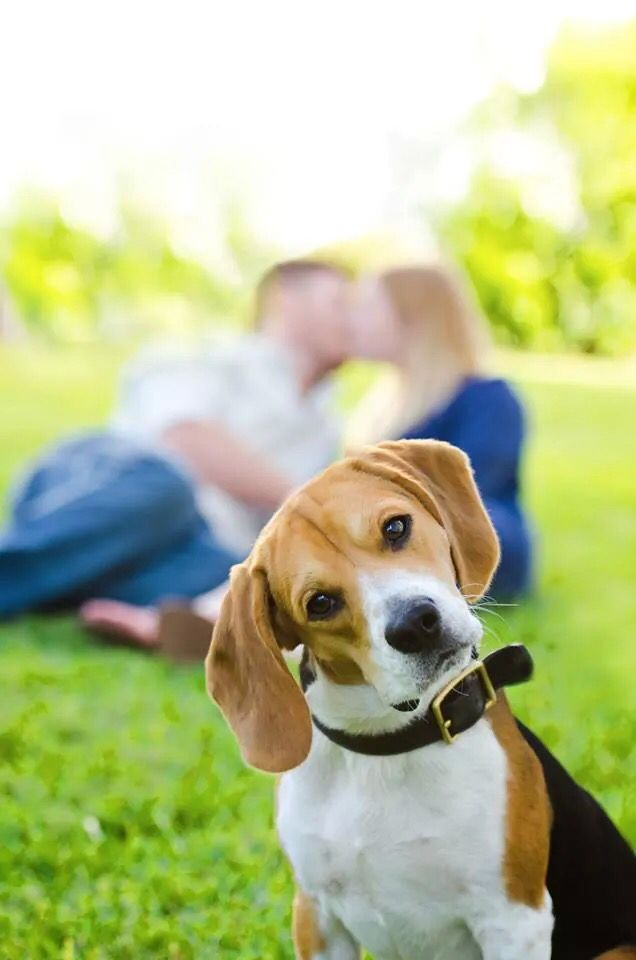 Our Beagle Engagement Photo With Images Dog Photoshoot