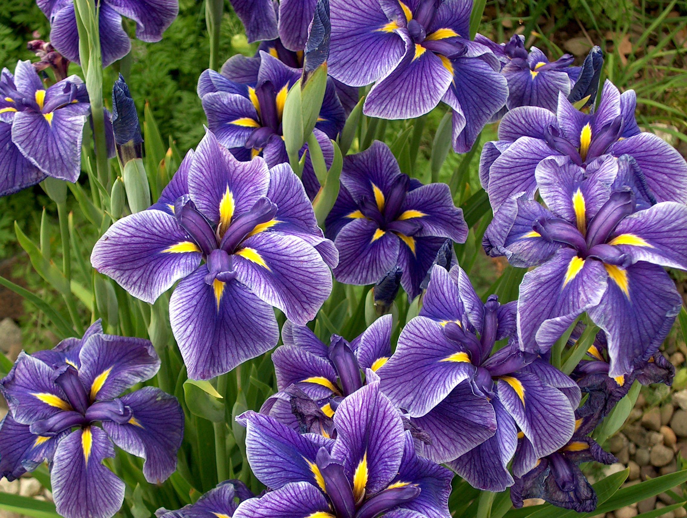 Iris Ensata A Seedling In My Garden Gardening Ideas Pinterest