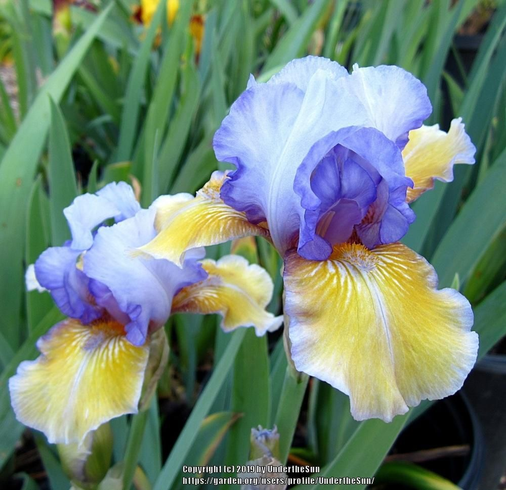 Irises Plant Care And Collection Of Varieties In 2020 Plant Care Iris Garden Plants