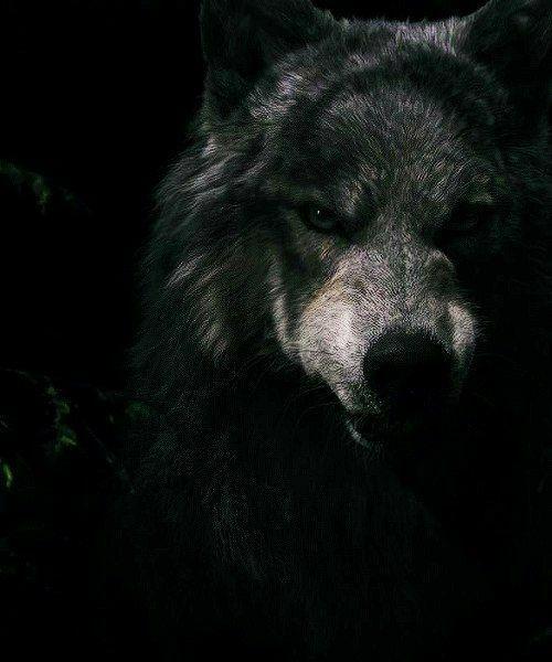 Epingle Par Panda Pk Sur Lobos Loup Sauvage Images Loup Loup Noir