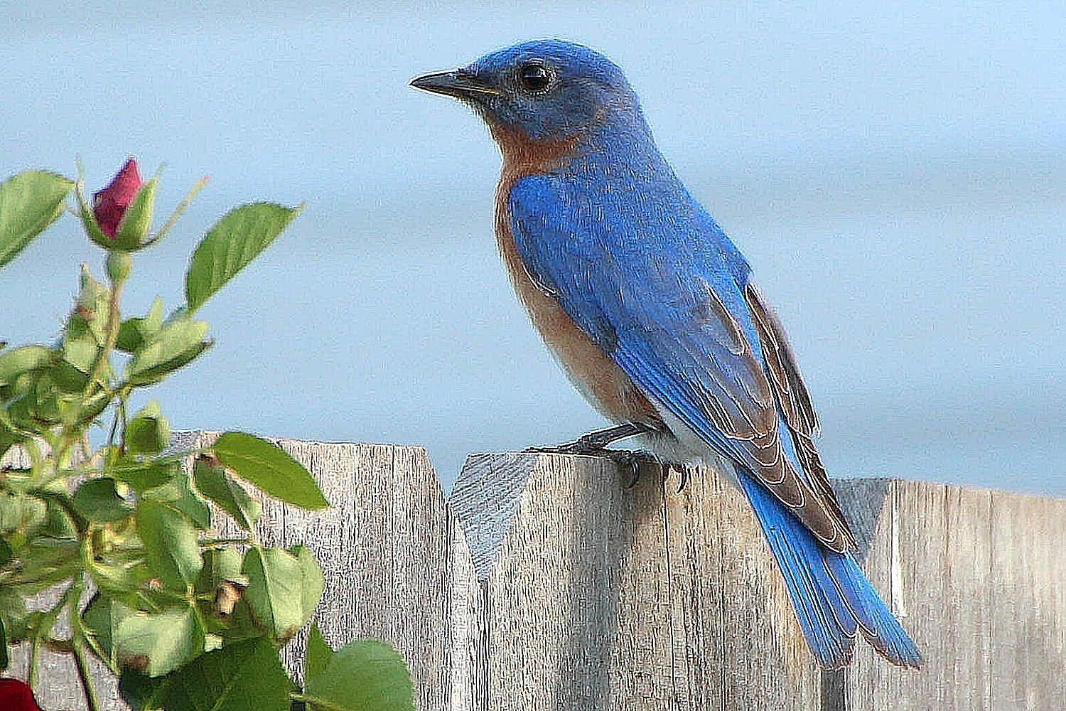 Easy Ways to Attract Bluebirds to Your Yard | Birds ...
