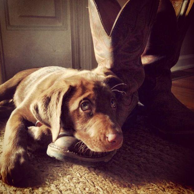 Briggs The Chocolate Labrador Retriever From Knoxville Tn