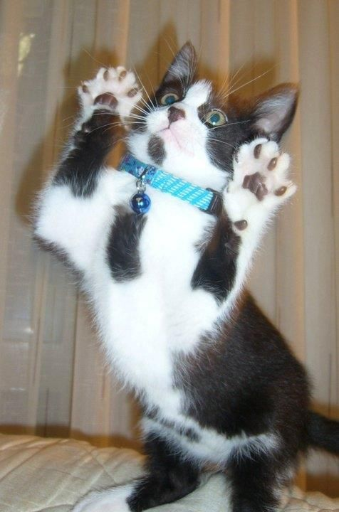 Jazz Hands! Cats, White cats, Animals